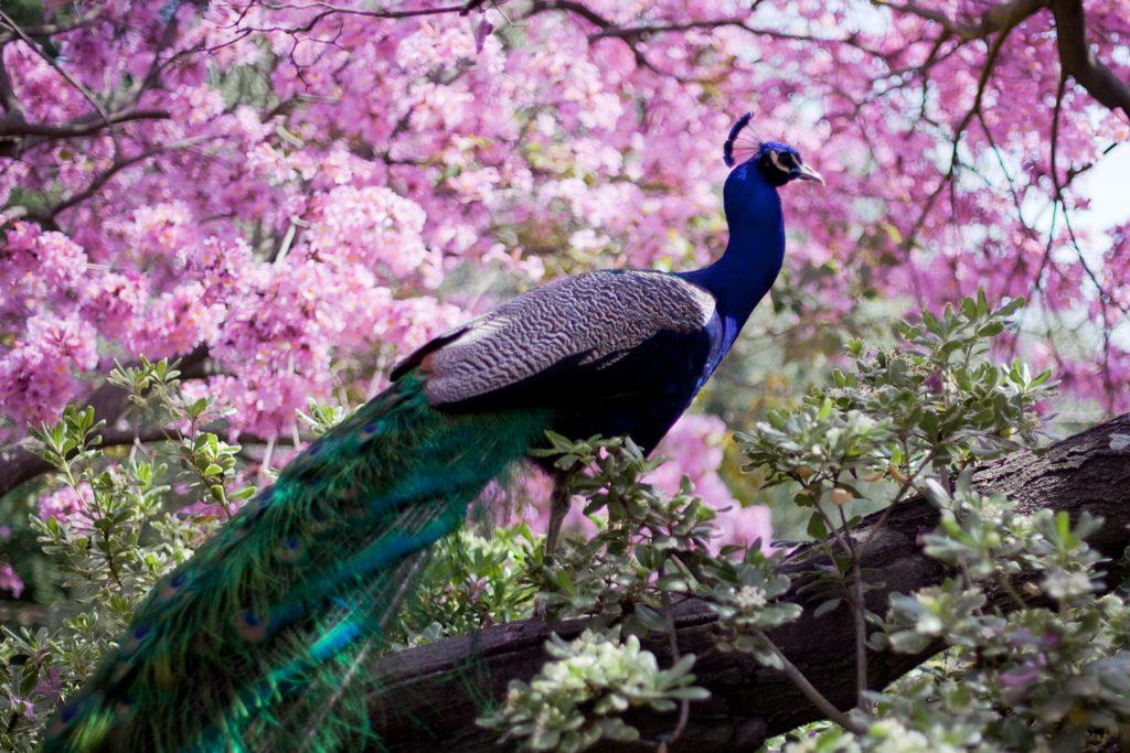 peacock beautiful flowers cherry blossoms sakura pink blue green arcadia los angeles