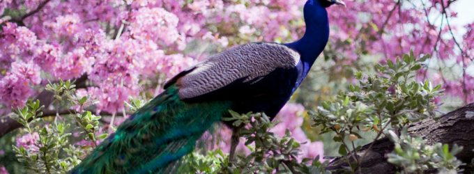Pretty Peacocks and Plants: LA County Arboretum